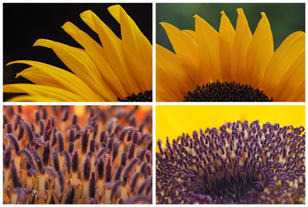 Platz 60 - Pia Dumke - Sonnenblume