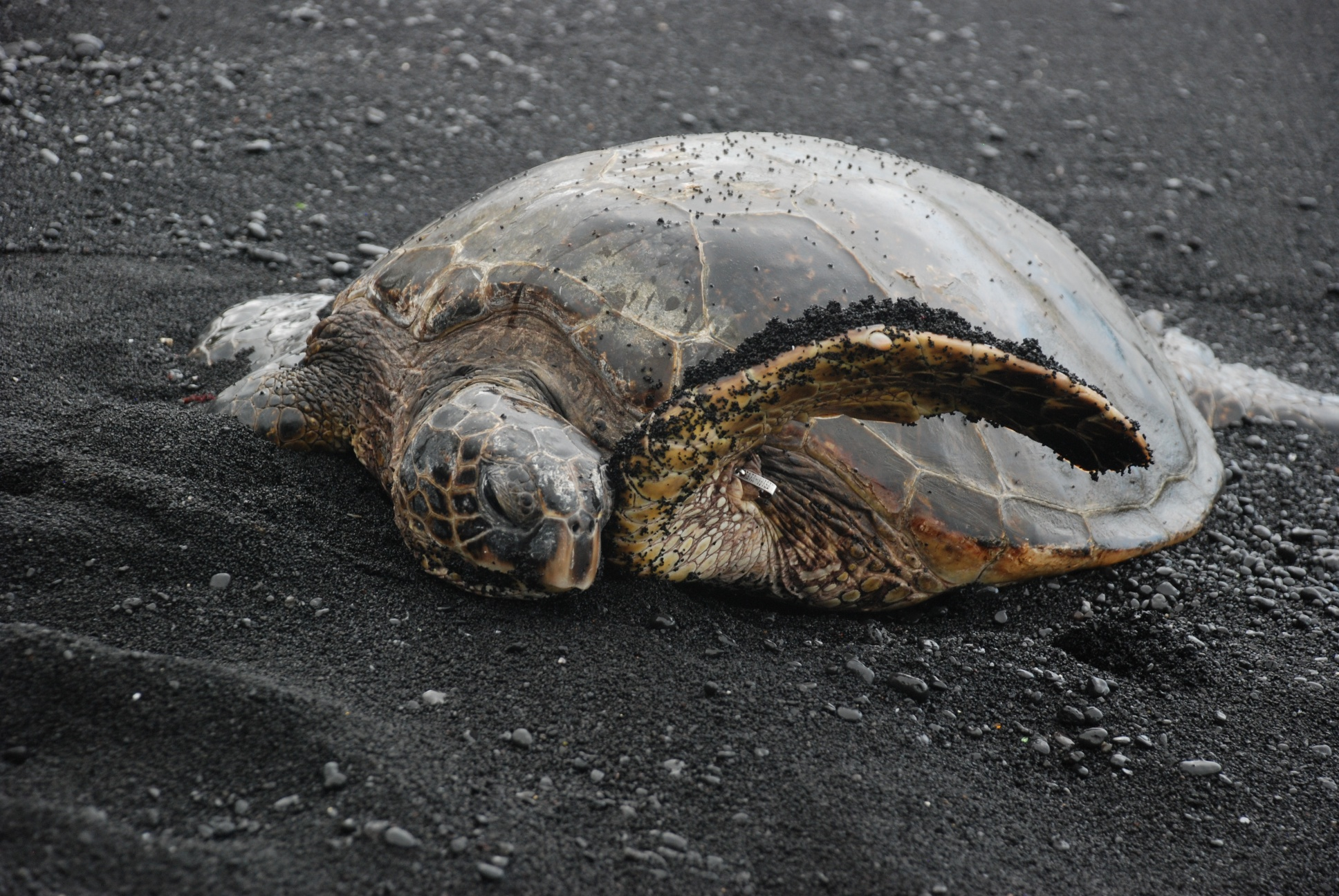 Turtel am Lavastrand Hawaii