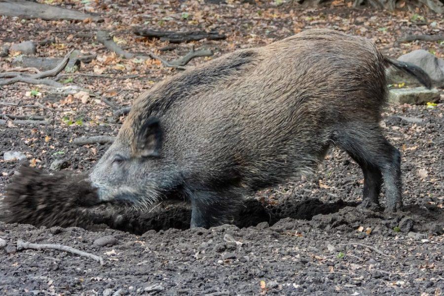 Platz 34 - Volkhardt Lembcke -Schweinerei